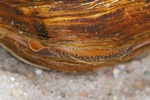 Duck mussel (Anodonta anatina)